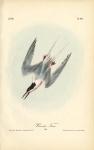 Roseate Tern.  (Male).  Pl. 437.
