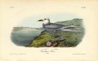 Trudeau's Tern.  (Adult).  Pl. 435.