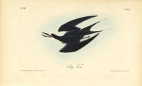 Sooty Tern.  Pl. 432.
