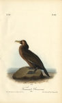 Townsend's Cormorant.  (Male).  Pl. 418.