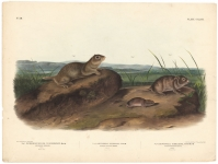 Spermophilus Townsendii, American Souslik.  Arvicola Oregoni, Oregon Meadow-Mouse.  Arvicola Texiana, Texan Meadow Mouse.  Plate 147.