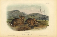 Bachman's Hare.  Plate CVIII.