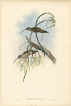 Mexican Hermit.  (Phaethornis Cephalus).