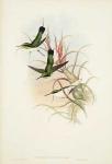 Heliothrix Phainolaema.  Green-throated Fairy.