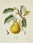 Colmar. (Pear).