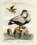 Le grand Canard noir et blanc, avec la femelle. Tab XCI.
