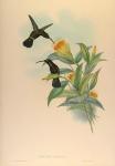 Threnetes Antoniae (Sooty Barbed-Throat).