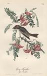 Pipiry Flycatcher. (Agati Grandiflora). Pl. 55.