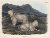 Capra Americana, Blainville.  Rocky Mountain Goat.  Male & Female.  Plate 128.