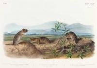 Townsend's Arvicola (Arvicola Townsendii), Sharp-Nosed Arvicola (Arvicola Nasuta), Bank Rat (Mus Riparius). Plate 144.