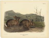 Lepus Bachmani, Waterhouse. Bachman's Hare.  Plate CVIII.