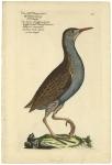 Das Kleine Langschnablichte wasserhuhn Thauschnarre, Gallinula longirostra, La Paule d'eau aijant un bec longue. .Gallinule  Plate 212.
