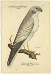 Der Grau Weisse Geyyer Oder Falck Laniarius cincreus S. Falco cinereo-Albus Faucon Cendre.  [Gray Harrier].