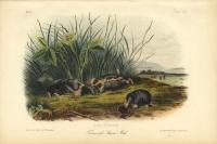 Townsend's Shrew Mole. Arisaema triphyllum  Plate CXIV.