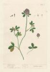 Trifolium Vulgare.  Purple Trefoit.  Clover Grass.