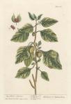 Alkekengi or Halicacabum.  Red Winter Cherries.