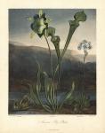 American Bog Plants. 1. Fetid Pothos, 2. Pitcher Plant, 3. Venus's Fly Trap.