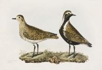 Golden Plover. 1. Winter Plumage  2. Summer  Do.  Plate XXXVII.