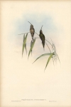 Phaethornis Intermedius.  Middle-sized Hermit.