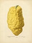 Cedratier a Gros Fruit.