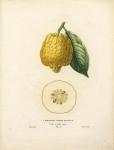 Cedratier a Fruit Rugueux.  Cedro a Frutto rugose.