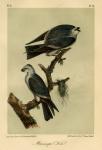 Mississipi Kite.   Plate 17.
