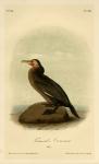 Townsend's Cormorant. Male. Plate 418.