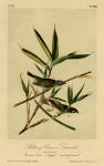 Solitary Vireo or Greenlet. 1. Male. 2. Female. American Cane. Meigia macrosperma. Plate 239.