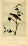 Dwarf Thrush. Male. Plant Porcelia Triloba. Plate 147.