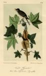 Traill's Flycatcher. Male. Sweet Gum Liquidambar Styracifolia. Plate 65.