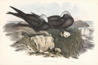 Anous Stolidus (Brown Noddy).