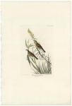 Black-throated Bunting.  Fringilla Americana.  Plate CCCLXXXIV.