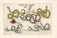 Untitled Snake.  Tab. XXXIV.