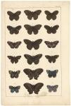 Untitled Butterflies.  Tab. XIV.