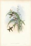 Calothorax Cyanopogon. (Mexican Star)