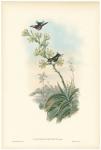 Calothorax Decoratus. (Decorated Wood Star)