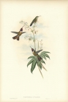 Calothorax Evelinae. (Bahama Wood-star)