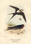 Cheramoeca Leucosternum (Western Black-and-White Swallow). Hirundo Neoxena (Welcome Swallow).