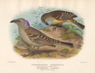 Alphachlamydera Ceriniventris (Fawn-Breasted Bower-Bird). Rogersornis Nuchalis (Great Bower-Bird).