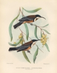Acanthorhynchus Tenuirostris (Spinebill).