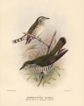 Lamprococcyx Lucidus (Broad-Billed Bronze Cuckoo).