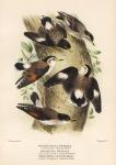 Neosittella Striata (Striped Treerunner). Neosittella Pileata (Black-Capped Treerunner). Neosittella Leucoptera (White-Winged Treerunner).