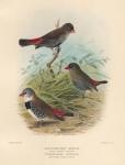 Zonaeginthus Bellus (Fire-Tailed Finch). Tavistocka Guttata (Spotted-Sided Finch).