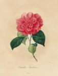 Camellia Buckliana.