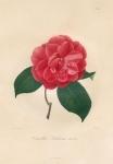 Camellia Lochiana nova.  Pl. 208.