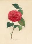 Camellia Elphinstonia.