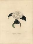 Camellia Stephany.  Pl. 211.