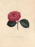 Camellia Goubernaliva (Mar).  Pl 260.