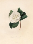 Camellia Heteropetala rubra.  Pl. 227.