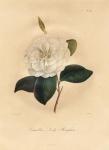 Camellia Lady Brougham.  Pl. 295.